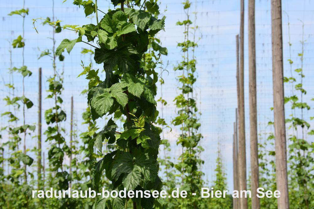 Radurlaub am Bodensee - Bier am Bodensee - Tettnanger Hopfen