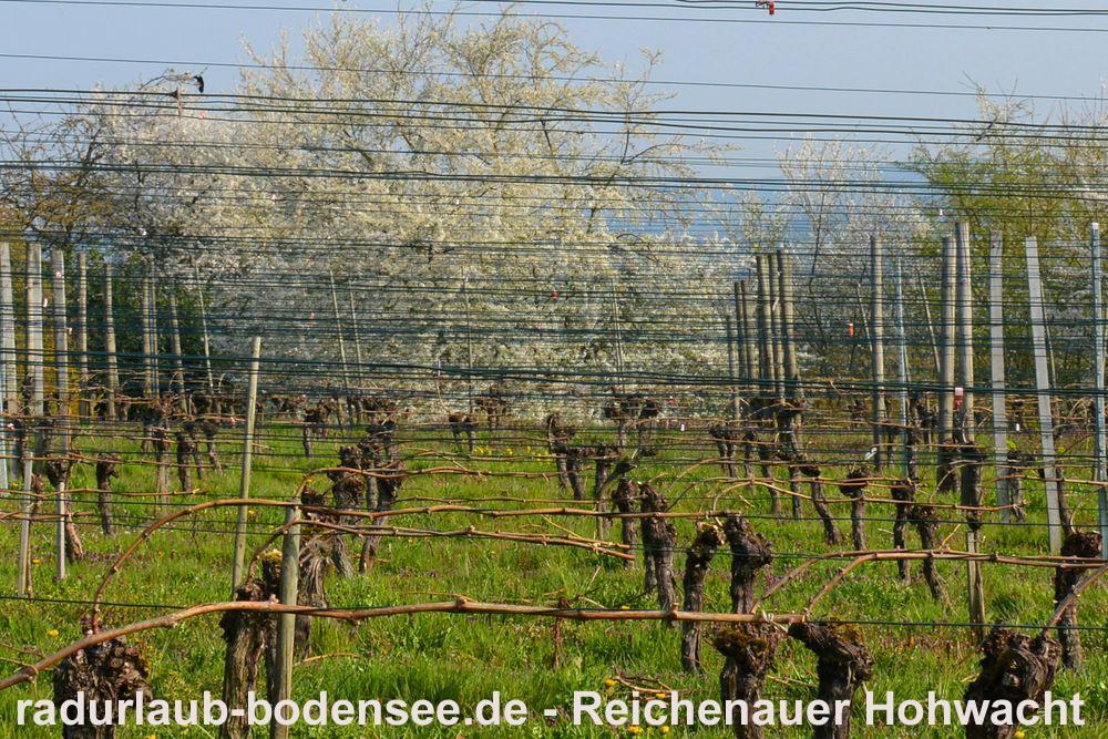 Wein am Bodensee - Lage Reichenau Hohwacht
